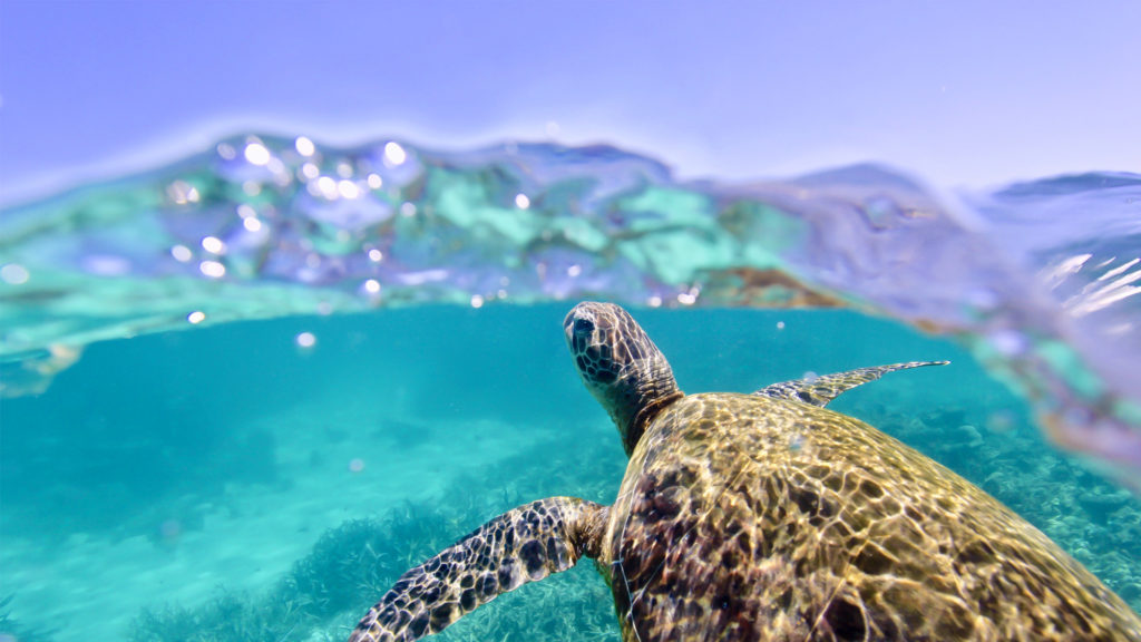 Turtle at Ningaloo Reef | Photo by Nicole McLachlan and used under CC license.
